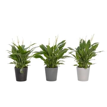 Black & White - Spathiphyllum 12 cm 'Torelli' in pot Babe