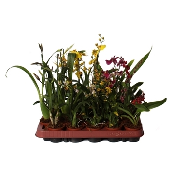Orchidee mix 1t 6 cm