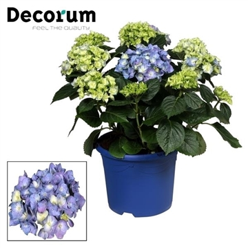 Hydrangea Bol Blue 10 - 15 kop in gekleurde sierpot (Decorum)