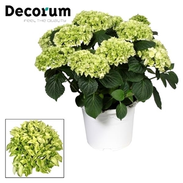 Hydrangea White 10 - 15 kop in gekleurde sierpot (Decorum)