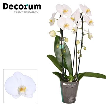 Phalaenopsis Tokyo 2 tak Cascade Decorum