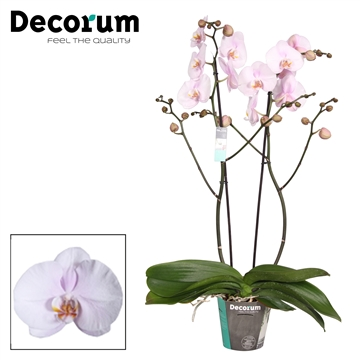Decorum Chantal 2 tak P15