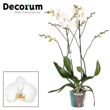 Phalaenopsis Nassau zwaar vertakt 50+ Decorum
