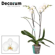 Phalaenopsis Nassau 2 tak vertakt 40+  Decorum
