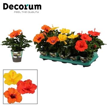 Hibiscus mixtray 10 cm 3 soorten