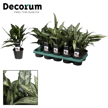 Aglaonema gemengd (Decorum)
