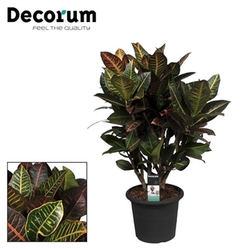 Croton Petra vertakt 80-90 cm in deco pot (Decorum)