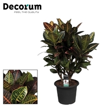 Croton Petra vertakt 75-85 cm in deco pot (Decorum)