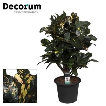 Croton Magnifcent vertakt (Decorum)