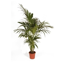 Kentia Howea Fosteriana 4 Plants