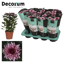 Chrysanthemum Chrysanne® 'Nova Zembla' VIP Russia Decorum