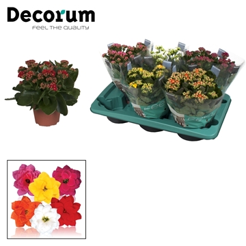 Kalanchoe Decorum - Mix