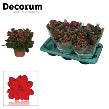 Kalanchoë Decorum - Red