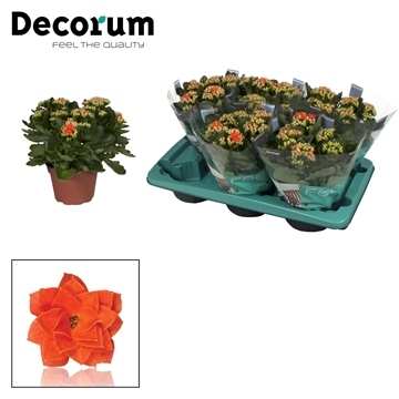 Kalanchoë Decorum - Orange