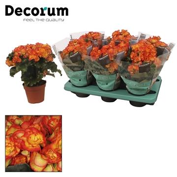 Begonia bodinia rio dark ge-ora