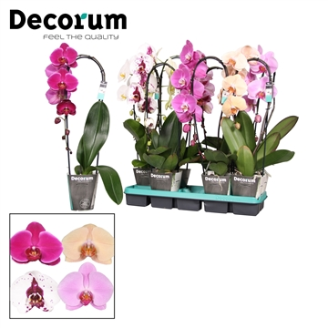 Phalaenopsis mix 1 tak Cascade Decorum
