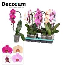 Phalaenopsis mix 1 tak Cascade Decorum