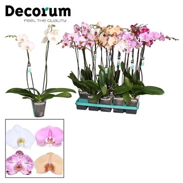 Decorum mix 2 tak P12 75-80cm