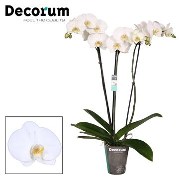 Phalaenopsis Tokyo 3 tak Decorum