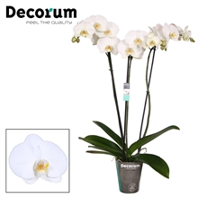 Artikel #67944 (DecTok3tak75: Phalaenopsis Tokyo 3 tak Decorum)