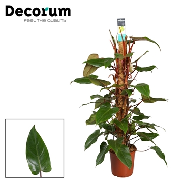 Philodendron Red Emerald 120mos