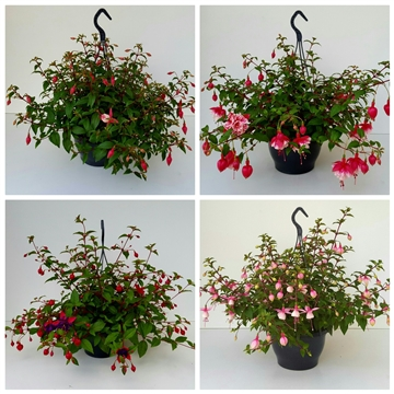 Fuchsia Hanging Basket gemengd