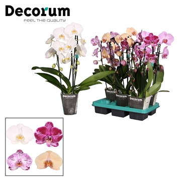 Decorum 2 tak Cascade mix