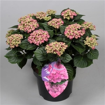 Hydrangea Curly Wurly Roze