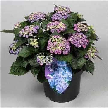 Hydrangea Curly Wurly Blauw 7-12 kop