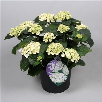 Hydrangea Curly Wurly Wit 7-12 kop