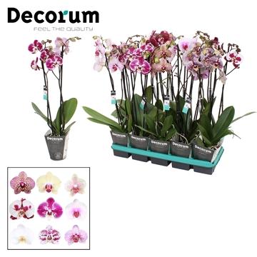 Phalaenopsis 2-Tak 6 kleuren mix 50 cm R1-2