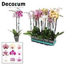 Phalaenopsis 2-Tak 6 kleuren mix 60 cm R1-2