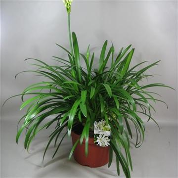 Agapanthus Whitney  2+ Bloem 24 cm Pot