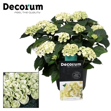 Hydrangea Curly Wurly Wit 9-15 kop (Decorum)