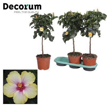 Hibiscus op stam - 19 cm - Cocktail (yellow/pink) - Decorum