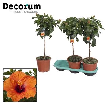 Hibiscus op stam - 19 cm - Lucca (orange) - Decorum