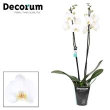 Phalaenopsis 2-tak Coalition