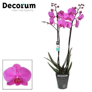 Phalaenopsis 2-Tak Evolution 60cm R2-3