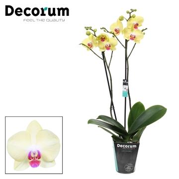 Phalaenopsis 2-Tak Geel 60cm