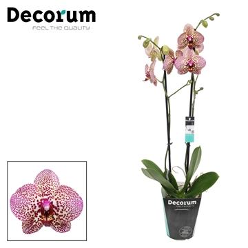 Phalaenopsis 2-Tak Kleopatra 60cm R2-3