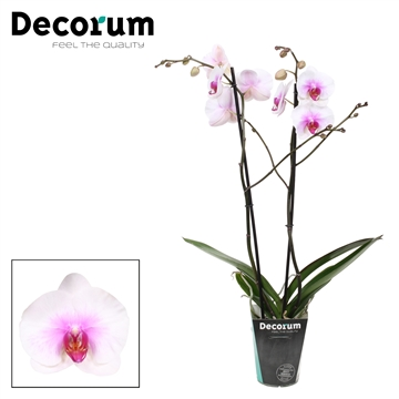 Phalaenopsis 2-Tak Mountion 65cm R2-3