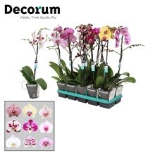 Phalaenopsis Gemengd Vertakt 60cm R1-2