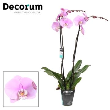 Phalaenopsis 2-Tak Marillion 70cm R2-3