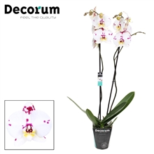 Phalaenopsis 2-Tak Kellion 70 cm