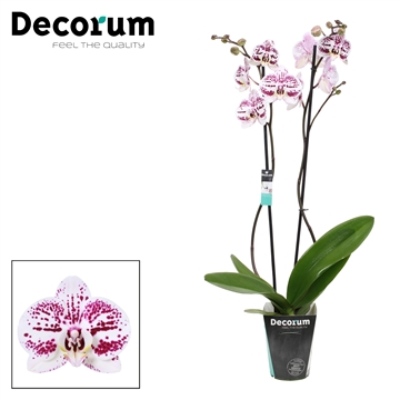 Phalaenopsis 2-Tak Decoration 70 cm