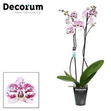Phalaenopsis 2-Tak Decoration 70 cm
