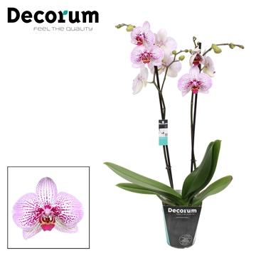 Phalaenopsis 2-Tak Mansion 60cm R2-3