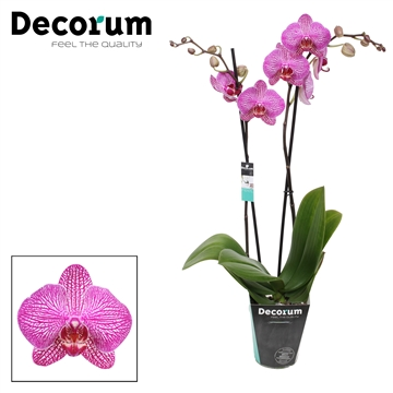 Phalaenopsis 2-Tak Funktion 65cm R2-2