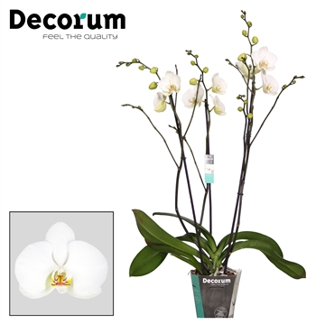 Phalaenopsis Nassau 3 tak vertakt Decorum