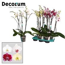 Phalaenopsis 3 tak mix  Decorum